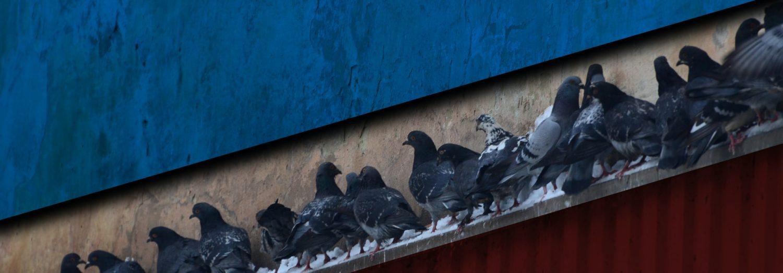 flock of pigeons on gutter